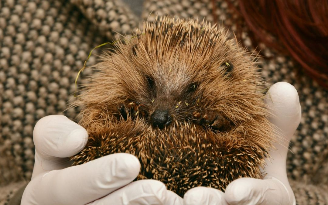 Wildlife in Autumn – Helping Your Hedgehogs